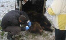 Līgatnes dabas takās atgriezušies lāči Mikus un Puika