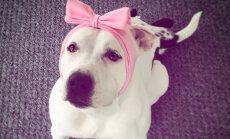 Foto: ASV apbalvots varonīgākais suns, ko izglāba no nāves