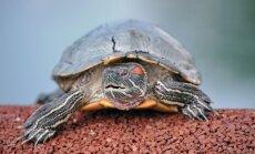 Divas pusaudzes ASV aiztur par nežēlīgu bruņurupuča spīdzināšanu