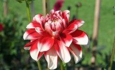 Foto: Salaspilī neticami skaisti zied atvasaras karalienes dālijas