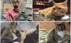 Mīlīgākie kolēģi: interesanti stāsti par kaķiem, kas mituši cilvēku darba vietās