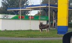 ФОТО, ВИДЕО: Во вторник утром в Пурвциемсе заблудился лось