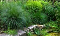 Akcents dārza ainavā – zāļveida ziemcietes un to audzēšana