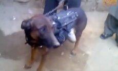 Video: Afgāņu 'Taliban' atrāda sagūstītu NATO suni – karavīru