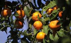 Sīrija eksportēs uz Krieviju 700 tūkstošus tonnu citrusaugļu