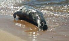 Aculiecinieka foto: Saulkrastu pludmalē izskalots miris ronis