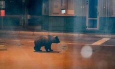 Video: Kārsavas lācēns viesojas arī Grebņevas muitas punktā