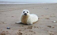 Saņemti vēl divi iesniegumi roņu medībām; kopumā grib nogalināt 40 dzīvniekus