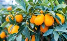 Neiepazītais citrusauglis kumkvats – kā tas aug siltajās zemēs