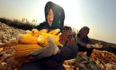 EK spītēs dalībvalstu iebildumiem un atļaus ģenētiski modificētas kukurūzas audzēšanu