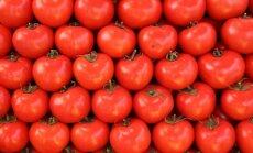 'Getliņi EKO' pirmo tomātu ražu plāno novākt decembra sākumā