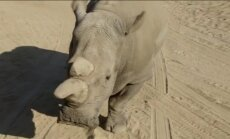 Video: Sandjego miris baltais degunradzis; pasaulē palikuši vairs tikai pieci