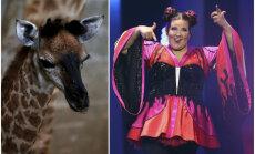 'Eirovīzijas' uzvarētājas dziesmas vārdā nosaukta jaundzimusi žirafe Izraēlā