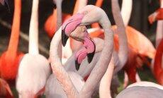 Rīgas Zooloģiskais dārzs, Rīgas zoo, flamingi, flamingo
