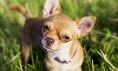 Puertoriko vīrietis nokodis galvu draudzenes sunim