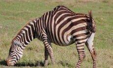 Pagalam dīvains zvērs: zebra ar kupri gluži kā kamielim