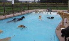 Video: Suņu bars sajūsmā plunčājas baseinā