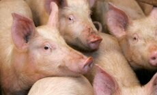 Латвия заплатит 603 000 евро хозяйству, на котором уничтожили 15 000 свиней