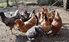 Putnu gripas draudi: daudzi saimnieki joprojām laiž ārā savus mājputnus