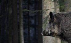 Cīņa ar cūku mēri: mežacūku skaits jāsamazina no 70 000 līdz 12 000