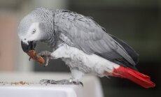 ASV papagailis pārsteidz saimniekus – atgriežas mājup pēc četriem gadiem; sāk runāt spāniski
