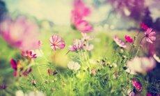 Krāšņumdārzs nepacietīgajiem – puķes, ko sēt uzreiz dobē