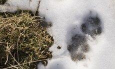 Slīterē varēs mācīties atpazīt zvēru pēdas sniegā