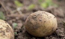Precizē kartupeļu sēklu aprites prasības