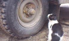 Video: Viltīgā pele prasmīgi maskējas kaķim deguna galā. 'Toms un Džerijs' reālajā dzīvē