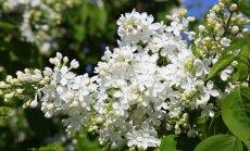 Botāniskajā dārzā zied ceriņi