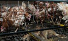 Dzīvnieku tiesību aizstāvji aicina parakstīt petīciju pret vistu turēšanu sprostos