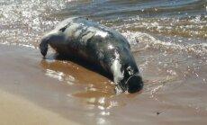 ФОТО: На пляже в Саулкрасты отдыхающие нашли мертвого тюленя