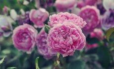 Foto: Krāšņo rožu pilnzieds Salaspils botāniskajā dārzā