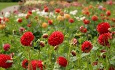 Foto: Krāšņo dāliju ziedonis Botāniskajā dārzā
