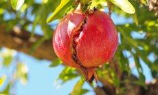 Foto: Kā dabā aug sulīgie augļu karaļi granātāboli?