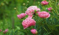 Пионы, вокруг одни пионы: 9 советов от эксперта для идеальных цветов
