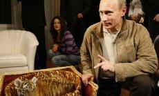 Putina brīvībā palaistais Amūras tīģeris Kuzja uzbrūk vistām
