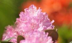 Foto: Pārdaugavā izplaukuši koši rododendri