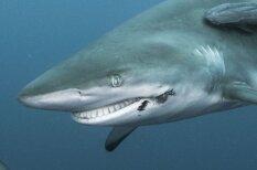 Dienvidāfrikas ūdeņos manīta priecīga haizivs ar plašu smaidu