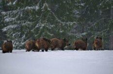Meža dzīvnieku pēdas sniegā
