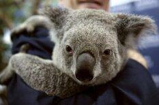 Хочу на ручки: 7 чудесных фотографий коал с мировыми лидерами