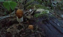 'Ogresgalā sēnes aug' - ar mežā atrasto dalās lasītāja