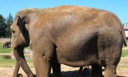 В Индии застрелили агрессивного слона, убившего 15 человек