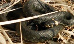 Aculiecinieki Latvijā novēro mostamies čūskas