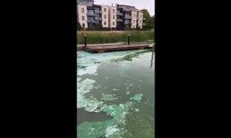 ВИДЕО: В Лиелупе у Līvu akvaparks появились cине-зеленые водоросли