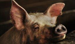 Мексиканский фермер умер от травм после пьяной драки со свиньей