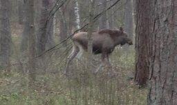 Foto: Pa Biķernieku mežiem pastaigā devies brangs alnis