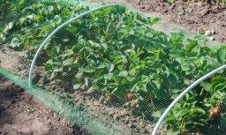 LOSP: Sausuma un karstuma ietekmē augļu raža šogad Latvijā varētu sarukt par 40%