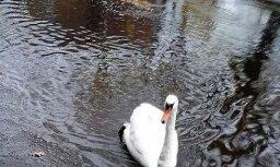 Foto: Daugavgrīvā milzu peļķēs peld cēls gulbis