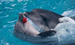 Пенисы мертвых тюленей и дельфинов надувают для изучения размножения
